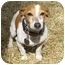 Photo 1 - Jack Russell Terrier Dog for adoption in Thomasville, North Carolina - Jackson