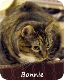 Domestic Shorthair Cat for adoption in Divide, Colorado - Bonnie