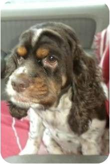 Cocker Spaniel Dog for adoption in San Diego, California - Lilly #2