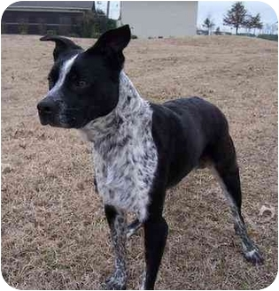 Dustee - Urgent | Adopted Dog | Marion, AR | Boston ...