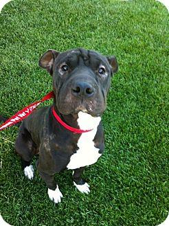 Shar Pei/Boxer Mix Dog for adoption in Mira Loma, California - Lucy Liu