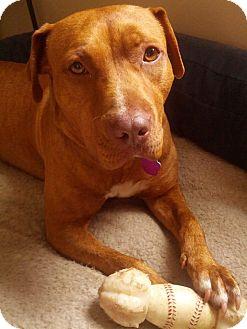 Pit Bull Terrier Mix Dog for adoption in Lancaster, Pennsylvania - Terra Settle