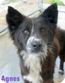 Collie Mix Dog for adoption in Georgetown, South Carolina - Agnes
