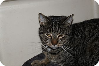 American Shorthair Cat for adoption in Broadway, New Jersey - Coconut
