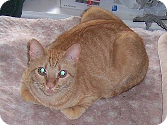 Domestic Shorthair Cat for adoption in College Station, Texas - Tango