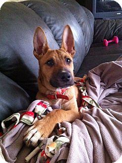 German Shepherd Dog Mix Puppy for adoption in New Baltimore, Michigan - Buster