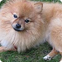 Adopt A Pet :: Ozzie - Mt Gretna, PA
