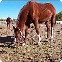 Adopt A Pet :: Romeo - Pueblo, CO