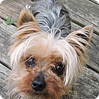 Adopt A Pet :: *Yogi - PENDING - Westport, CT
