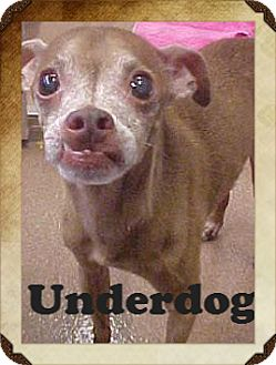 Chihuahua/Miniature Pinscher Mix Dog for adoption in Justin, Texas - Under Dog