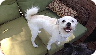 Norfolk Terrier Mix Dog for adoption in Salt Lake City, Utah - Buzz