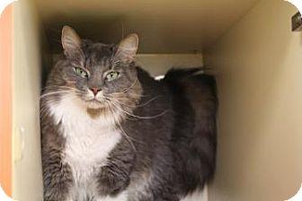Domestic Longhair Cat for adoption in Gloucester, Massachusetts - Cassie