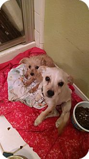 Terrier (Unknown Type, Small) Mix Puppy for adoption in Simi Valley, California - Waldo