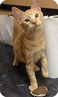 Domestic Shorthair Cat for adoption in Weatherford, Texas - Marmelade