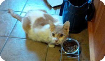 Domestic Shorthair Cat for adoption in Burlington, Ontario - Reggie