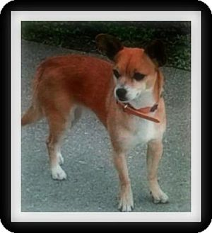 Chihuahua/Terrier (Unknown Type, Small) Mix Dog for adoption in Winchester, California - CHULA