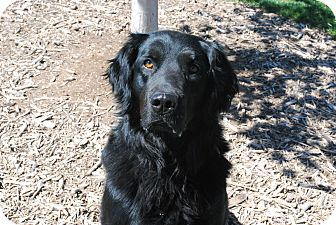 Newfoundland/Retriever (Unknown Type) Mix Dog for adoption in Twin Falls, Idaho - Dudley