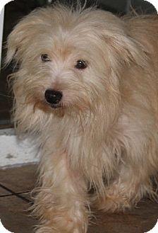 Terrier (Unknown Type, Small) Mix Puppy for adoption in Savannah, Missouri - Chuckie