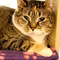 Domestic Shorthair Cat for adoption in Asheville, North Carolina - Jazzy