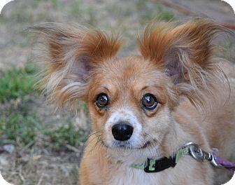 Corgi/Papillon Mix Dog for adoption in Gridley, California - Penny Sue