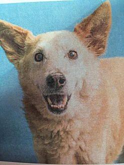 German Shepherd Dog Mix Dog for adoption in Chandler, Arizona - HAROLD