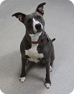 American Staffordshire Terrier Mix Dog for adoption in Manitowoc, Wisconsin - Vicky