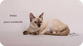 Balinese Kitten for adoption in Corona, California - SHEBA