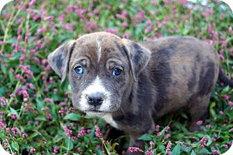 Bulldog/Labrador Retriever Mix Puppy for adoption in Newark, Delaware - Paris