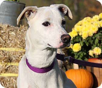 Whippet/Italian Greyhound Mix Dog for adoption in Marietta, Ohio - Angel Annie