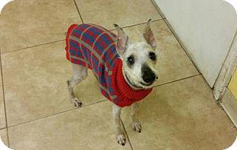 Miniature Schnauzer Mix Dog for adoption in Reisterstown, Maryland - Mister