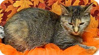 Domestic Shorthair Cat for adoption in Columbus, Nebraska - Emily