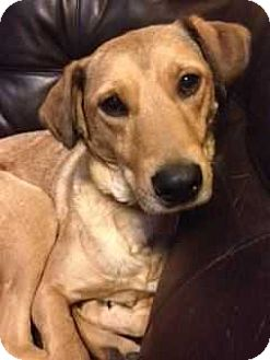 Catahoula Leopard Dog/German Shepherd Dog Mix Dog for adoption in E. Greenwhich, Rhode Island - Ruthie