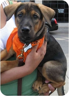 Shepherd (Unknown Type) Mix Puppy for adoption in Chicago, Illinois - Gloria