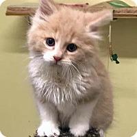 Adopt A Pet :: Star Lord - Troy, MI