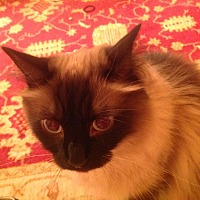 Siamese Cat for adoption in Bedford, Texas - Justice