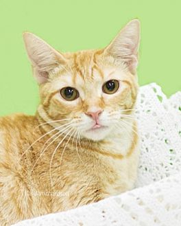 Domestic Shorthair Cat for adoption in Oviedo, Florida - Marmalade