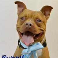 Adopt A Pet :: Sunny - Lake Havasu City, AZ