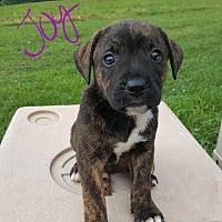 Adopt A Pet :: Joy - Niagra Falls, NY