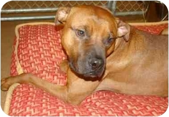 Boxer/American Pit Bull Terrier Mix Dog for adoption in Norwalk, Connecticut - Slinky