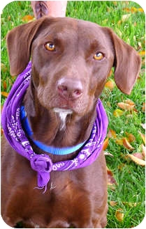 Labrador Retriever/German Shorthaired Pointer Mix Dog for adoption in Sacramento, California - Gunner best companion, tv budd