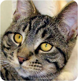 Domestic Shorthair Cat for adoption in Long Beach, California - Bently