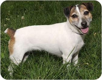 Jack Russell Terrier/Jack Russell Terrier Mix Dog for adoption in Chicago, Illinois - Ladybug