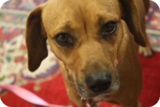 Labrador Retriever/Terrier (Unknown Type, Small) Mix Dog for adoption in Hamburg, Pennsylvania - Hope