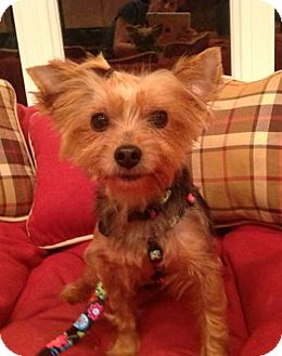 Yorkie, Yorkshire Terrier Mix Dog for adoption in Cleveland, Ohio - Sheba