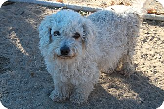 Poodle (Miniature) Dog for adoption in North Hills, California - Momma