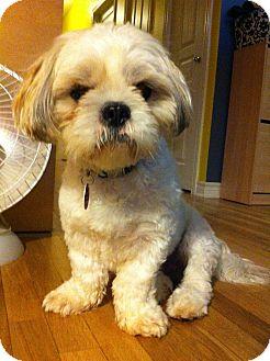 Shih Tzu Dog for adoption in Rigaud, Quebec - Rocky