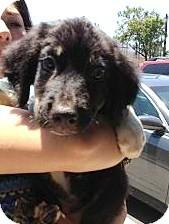 Border Collie/Labrador Retriever Mix Puppy for adoption in Santee, California - Bradly