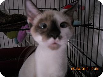 Siamese Cat for adoption in Brownsville, Texas - LITTLE SISTER