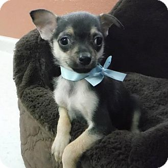 Chihuahua Mix Puppy for adoption in Dublin, California - Badger