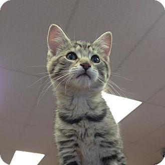 Domestic Shorthair Kitten for adoption in Toronto, Ontario - Willa